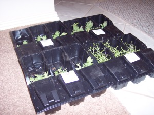 Potted plants were packaged in these plastic holders. The bottom flap secured the pot while the open upper section protected the live plant.